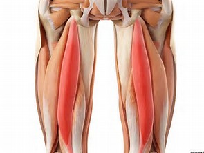 The Hamstring Muscles